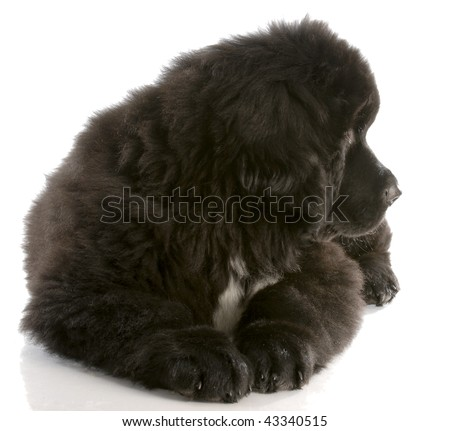 newfoundland puppy laying down looking to the side - twelve weeks old - stock photo