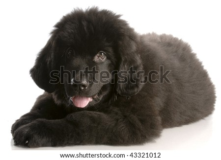 newfoundland puppy laying down - twelve weeks old - stock photo