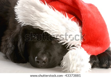 newfoundland puppy wearing santa hat - twelve weeks old - stock photo