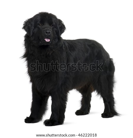 Newfoundland puppy, 2 years old, standing in front of white background - stock photo