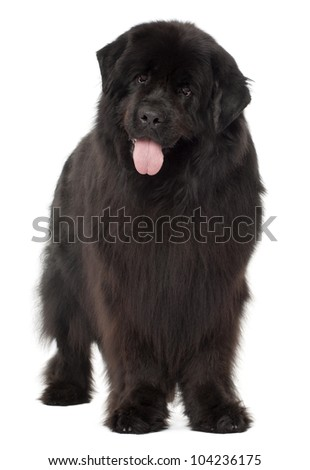 Newfoundland, 4 years old, standing against white background - stock photo