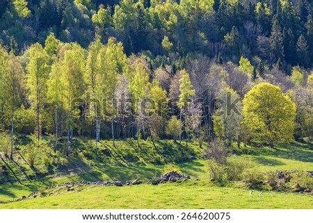 Newly blossomed birch trees in spring landscape - stock photo