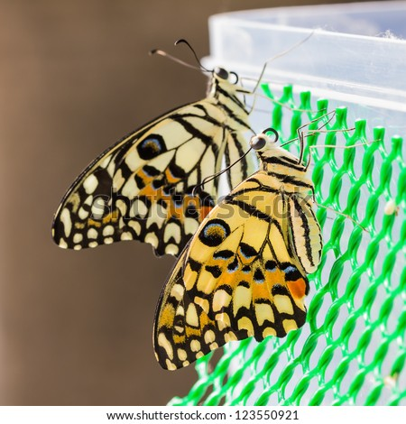Newly born lime butterfly clinging on green plastic net, square cropped - stock photo