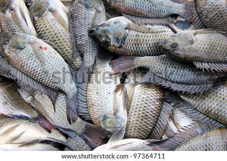Newly catch bunch of Tilapia fish in the Philippines - stock photo