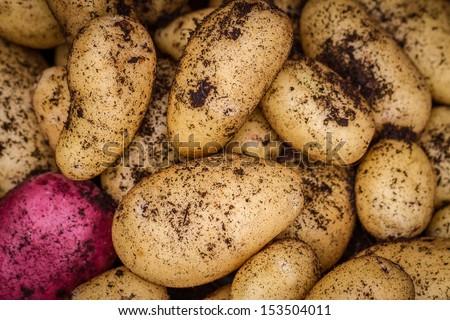 Newly Harvested Potatoes as an Agriculture Background - stock photo