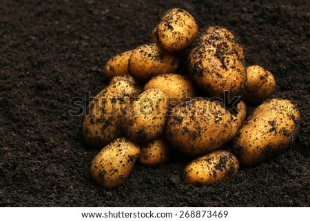 Newly harvested potatoes in soil - stock photo