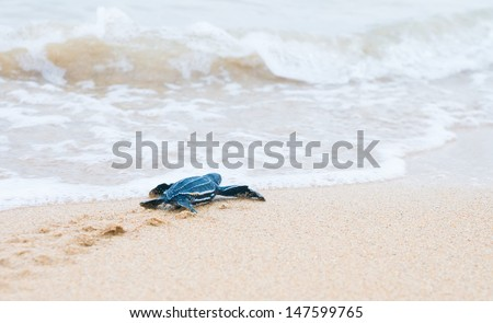 Newly hatched baby turtles crawl to the surf. Shallow depth of field - stock photo
