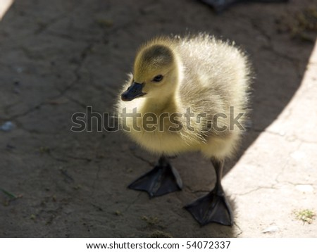 Newly hatched Canadian gosling on grass