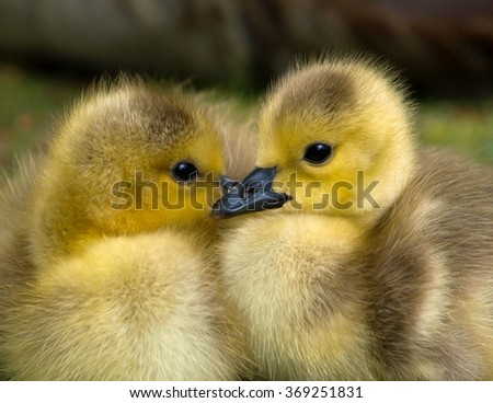 Newly hatched Canadian goslings - stock photo