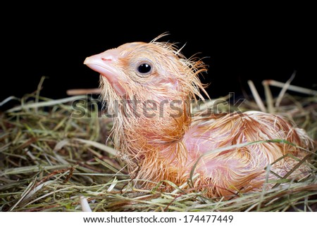 Newly hatched chick still wet and looking into the world - stock photo