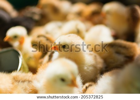 Newly hatched chicks on a chicken farm