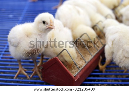 newly hatched chicks on a chicken farm - stock photo