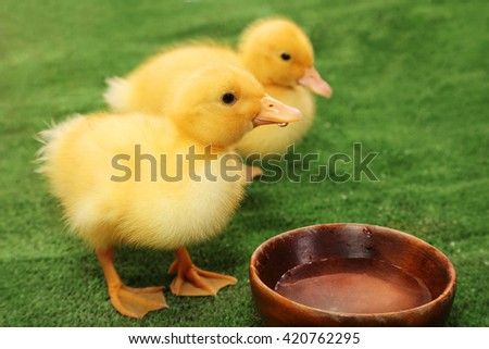 Newly hatched ducklings drink water - stock photo