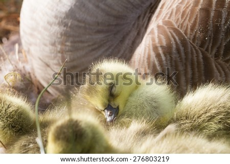 Newly hatched gosling chick sleeping - stock photo