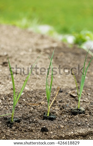 Newly planted leek seedlings in freshly ploughed garden bed. Organic gardening, healthy food, agriculture nutrition and diet concept. - stock photo