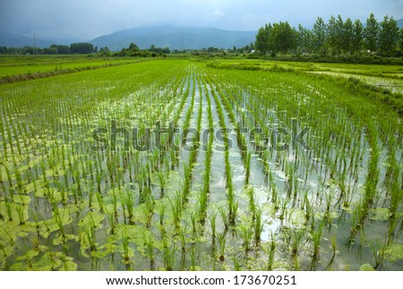 Newly planted rice paddies in a farm filled with water. - stock photo