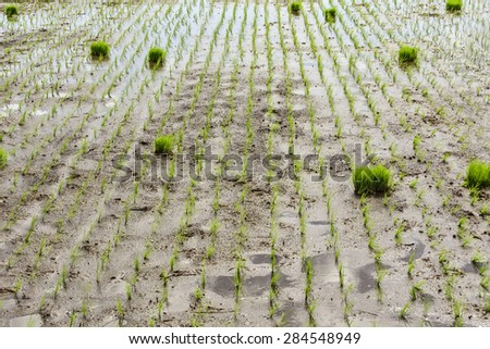 Newly planted rice seedlings in rice paddies. - stock photo