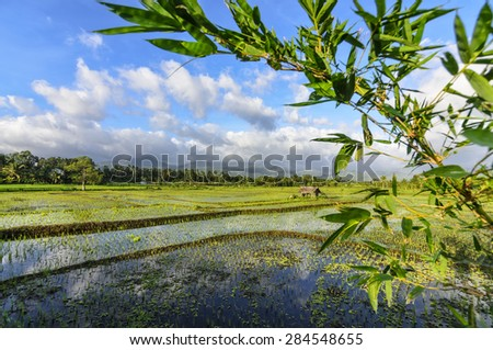 Newly planted rice seedlings in rice paddies.  Idyllic rural setting. - stock photo