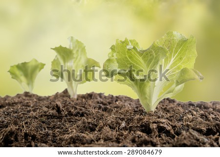 newly planted seedlings in the vegetable garden for a a healthy diet - stock photo