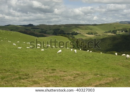 Newly Shorn White Sheep Grazing in Field on Rolling Welsh Hillside Overlooking Forested Valley, Wales - stock photo