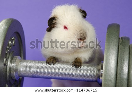 next gen pig exercise (cheeky baby Himalayan US-Teddy) - stock photo