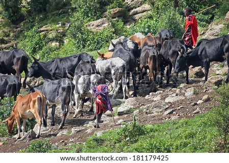 NGORONGORO CRATER, TANZANIA - FEBRUARY 16: Young Masai warriors herd and protect their cattle on the slopes of an extinct volcano on February 16, 2014 in Ngorongoro Crater, Tanzania. - stock photo
