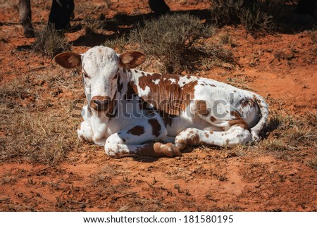nguni calf, an traditional african breed of cattle farmed in the region curled up lying down - stock photo