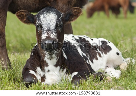 Nguni calf resting - stock photo