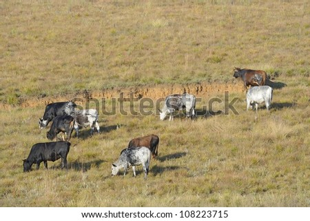 Nguni cattle grazing in the Drakensberg, Kwazulu Natal, south Africa. - stock photo