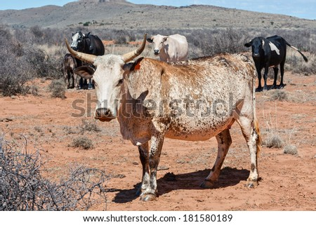 nguni cow a traditional breed of cattle for the african and southern african stock farming regions - stock photo