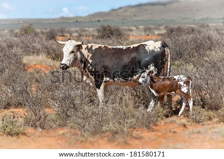 nguni cow and calf, a traditional african breed of cattle farmed in the southern region - stock photo