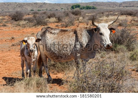 nguni cow and calf, an traditional african breed of cattle farmed in the region - stock photo