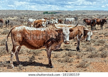nguni cows a traditional breed of cattle for the african and southern african stock farmers - stock photo