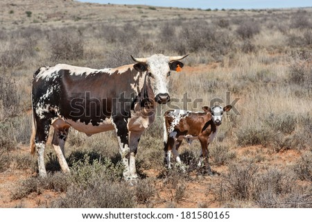 nguni cows and calf, an traditional african breed of cattle farmed in the region - stock photo