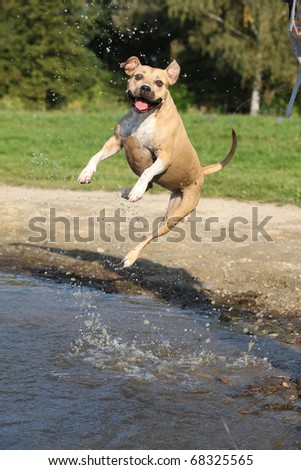 Nice American Staffordshire Terrier jumping - stock photo