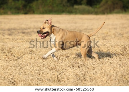 Nice American Staffordshire Terrier running