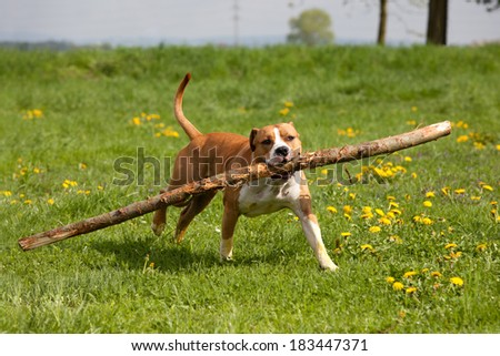 Nice american staffordshire terrier running with big stick - stock photo