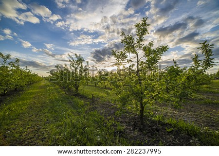 Nice and juicy apple orchard in the evening at sunset