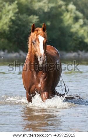 Nice arabian horse on water - stock photo