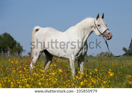 Nice arabian stallion posing - stock photo