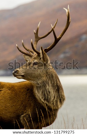Nice array of antlers on display on stag at Glen Garry in the Highlands of Scotland. - stock photo