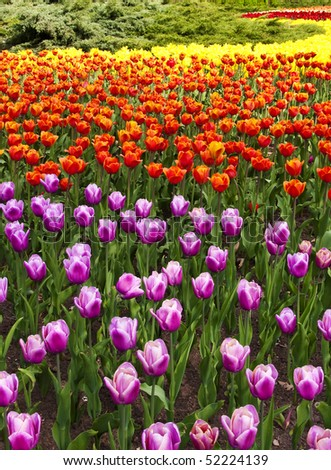 Nice assortment of tulips in bloom. - stock photo