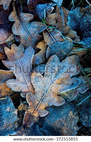 nice autumn oak leafs with frost - stock photo