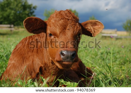 Nice baby cow in the grass - stock photo