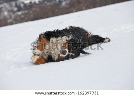 Nice bernese mountain dog playing in snow - stock photo