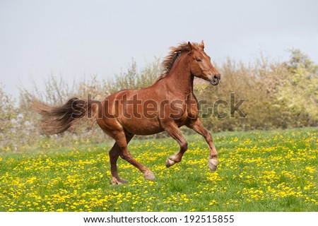 Nice big horse running - stock photo