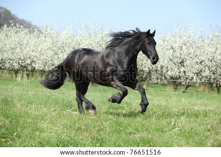 Nice black horse running in front of flowering plum trees