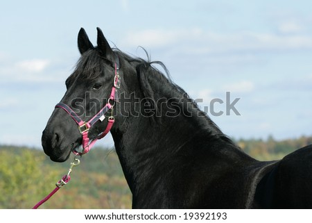 Nice black horse with pink halter
