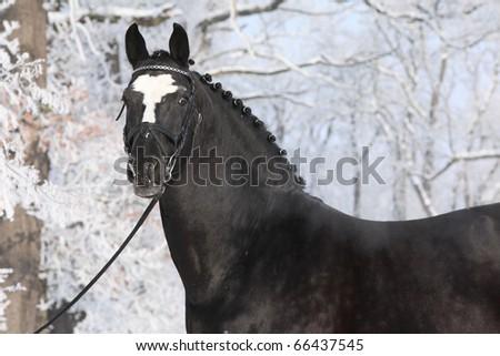 Nice black stallion in winter - stock photo