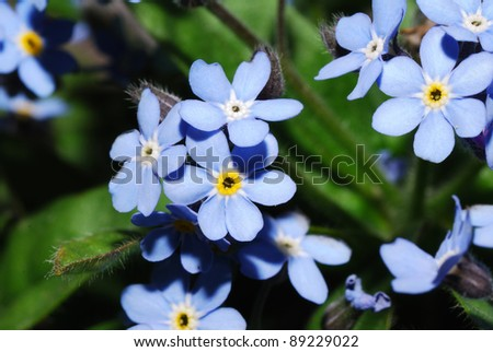 nice blue bloom for get me not in the spring - stock photo